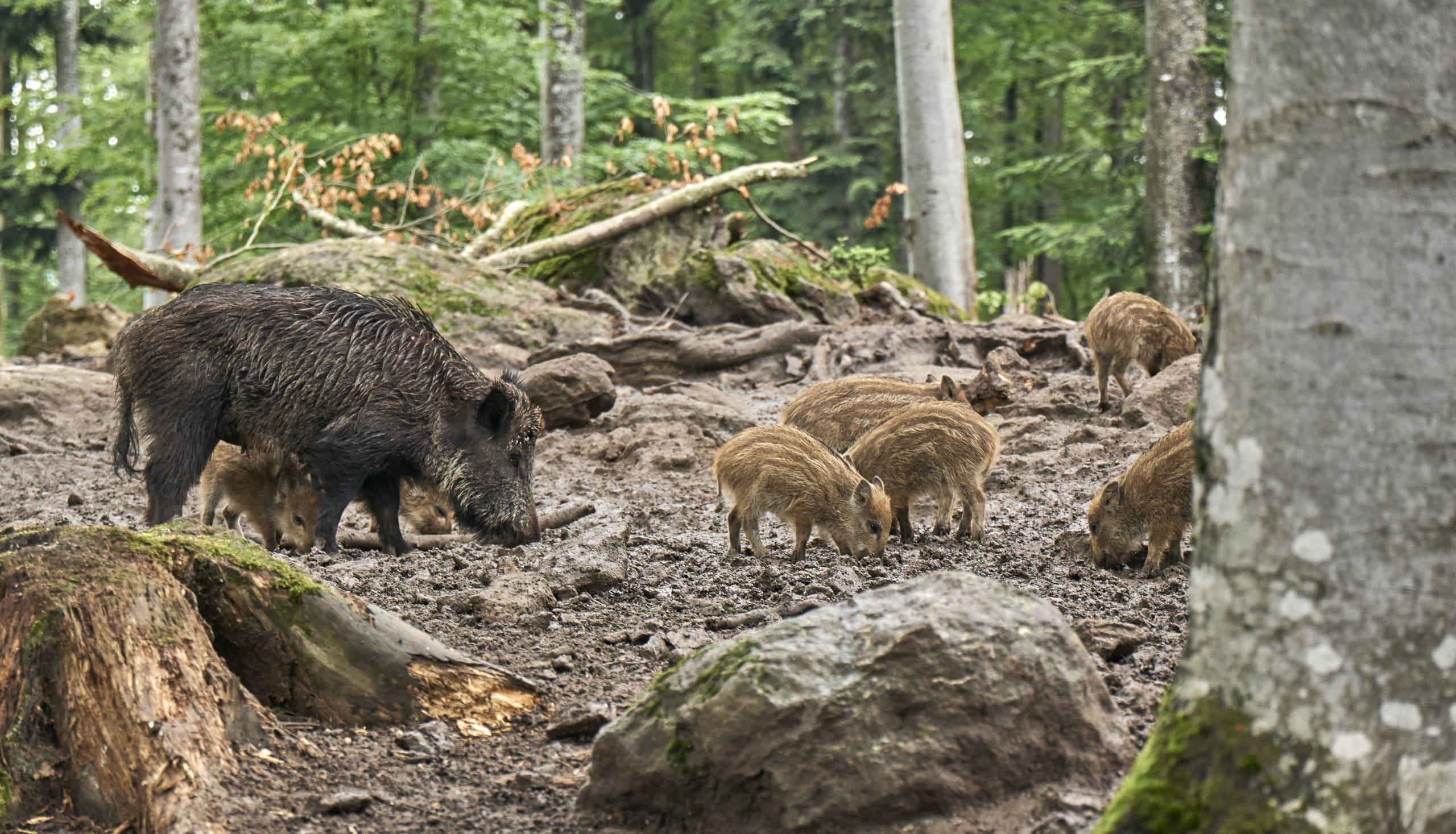 Wildschweine im Tierfreigehege